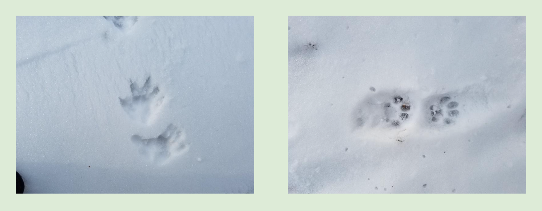 Opossum and bobcat tracks